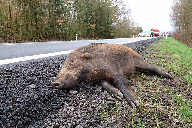 The picture shows a wild boar hit by a car next to a road and a fire brigade in the background